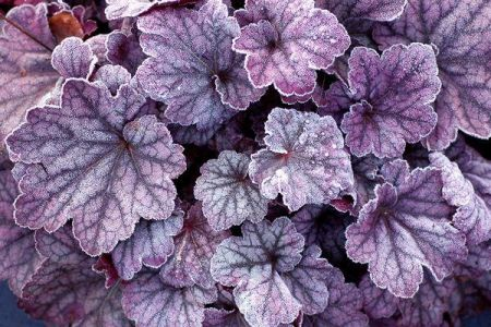 Heuchera Sugar Plum Plant in 13cm pot.
