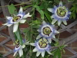 Passiflora caerulea climber in a 16cm pot.  Passion flower.