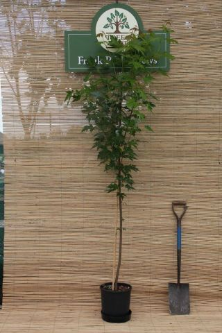 Acer Saccharinum silver or river maple Tree in a 12 Litre pot