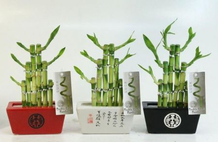 Lucky Bamboo 'Steps' in a Ceramic Pot. Indoor Houseplant Bonsai for Feng Shui. Red