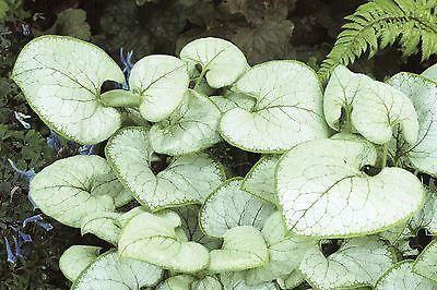 Brunnera Looking Glass Plant in a 17cm pot.  Fabulous Foliage