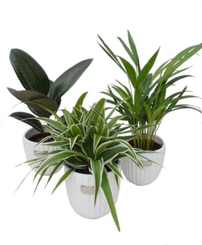 Air Purifying Houseplant collection. 3 Plants with Ceramic Pots. Good for home and office