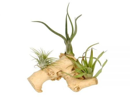 Tillandsia plants on driftwood. Air plants / Bromeliads. Medium Size