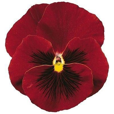 Pansy Red bedding plants. 12 Garden Ready Plants.