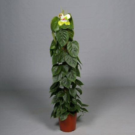 Philodendron scandens house plant in 21cm pot. 100cm tall approx