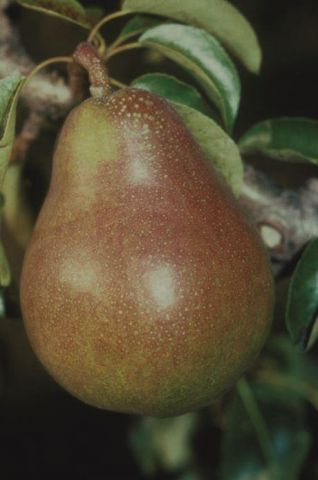 Pear (Pyrus) Doyenne du Comice tree in a 11.5 Litre patio pot - Rootstock Quince Eline
