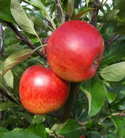 Apple (Malus) Meridian Tree in a 12 Litre Patio pot - Bush - Rootstock MM106
