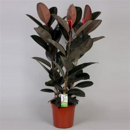 XL rubber plant Ficus elastica Abidjan in a 27cm pot.  Rarely offered