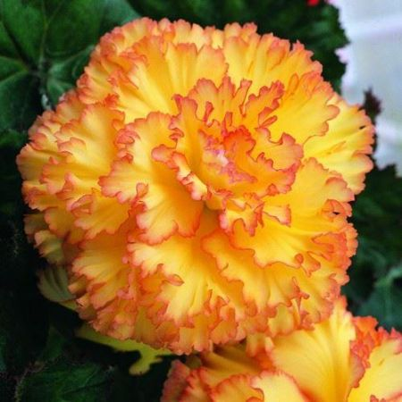 Begonia Feathered Sun Corms x 2. Huge Flowers