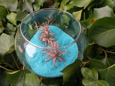 Tillandsia air plant displayed in glass fishbowl with 600g BLUE sand