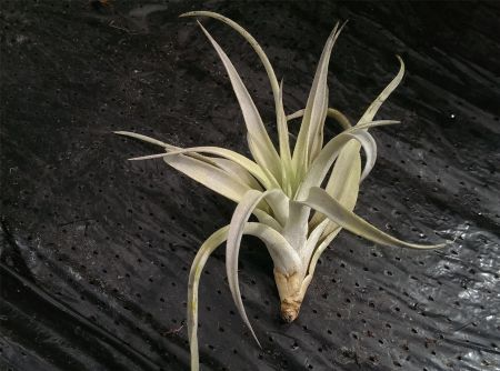 Tillandsia Harissii Plant.  Air plant - Great for Terrariums