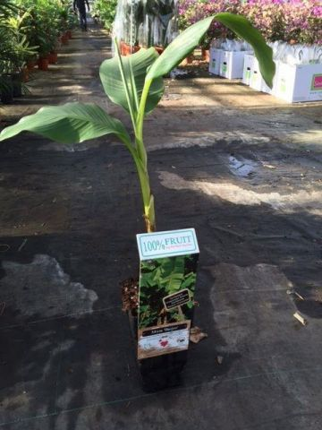 Musa basjoo Banana Palm in a 15cm Pot. Hardiest of all Banana