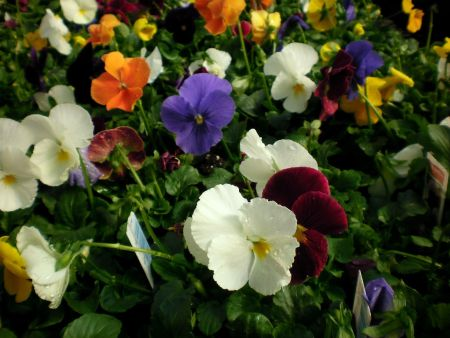 Pansy Panola Mixed bedding plants. 12 Garden Ready Plants.