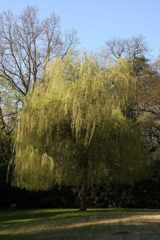 Salix alba Tristis golden weeping willow tree in a 12 Litre pot