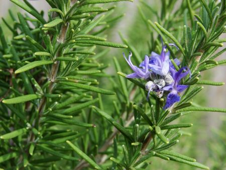 Rosemary herb plant in a 11cm pot. Rosmarinus officinalis