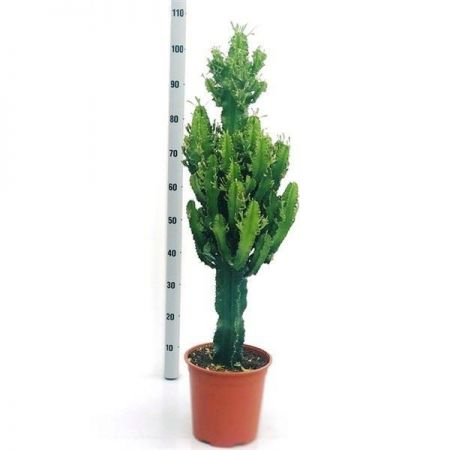 XXL Euphorbia Ingens Cactus plant in a 24cm Pot.  Approx 100cm tall