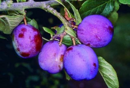 Plum (Prunus) Guinevere tree in a 12 Litre pot - Bush form - Rootstock St Julian A