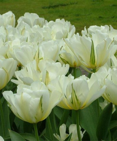White Valley Double Flowered Tulip Bulbs x 7