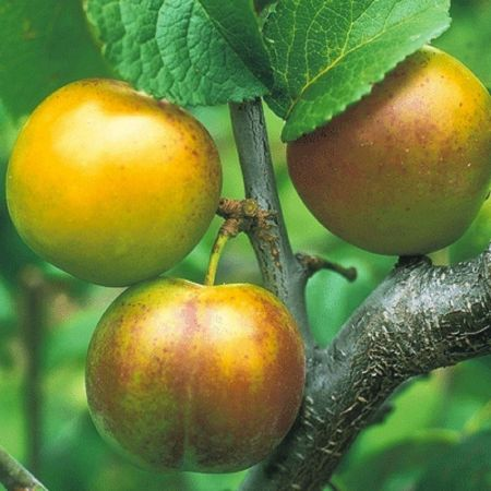 Gage (Prunus) Early Transparent tree in a 12 Litre Pot - Bush form - Rootstock St Julian A