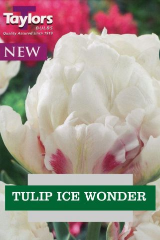 Tulip Ice Wonder Bulbs x 7 Good for Cut Flowers DOUBLE FLOWERS