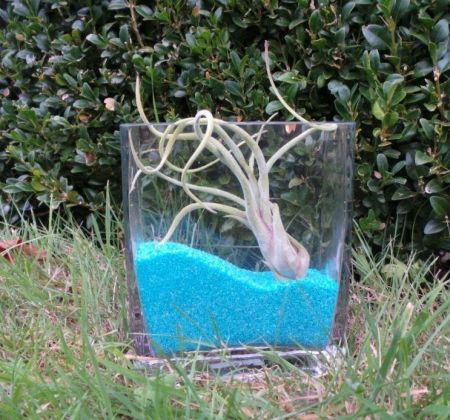 Air plant kit in LARGE glass rectangular cube with 500g BLUE sand.