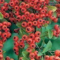 Pyracantha Mohave shrub plant in a 19/20cm Pot with a 3 cane. Prickly hedging