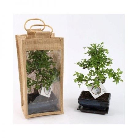 Bonsai house plant tree in a 15cm Pot in a Gift Bag