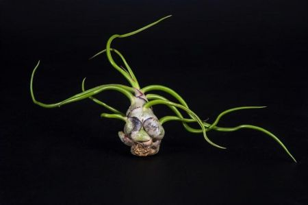 Tillandsia Bulbosa House Plant. Bromeliad / Airplant. Good for terrarium