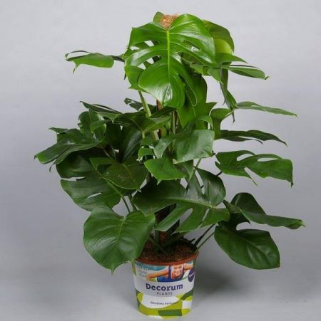 Swiss Cheese plant Monstera pertusum house plant with moss stick 75cm tall in 19cm pot