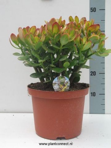 Crassula ovata Hummels Sunset house plant in 23cm pot Jade or money Tree 40-50cm tall