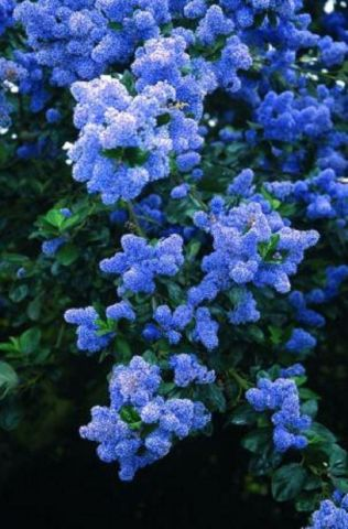 Ceanothus arboreus Trewithen Blue California Lilac tree in a 12 Litre Pot