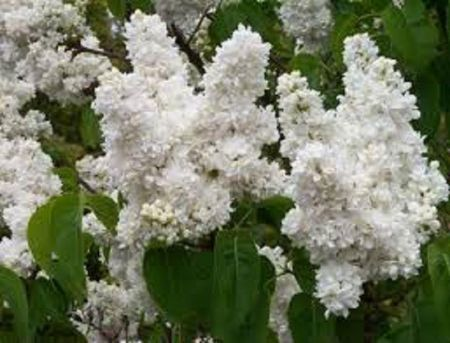Syringa vulgaris Madame Lemoine lilac tree in a 7 Litre Pot