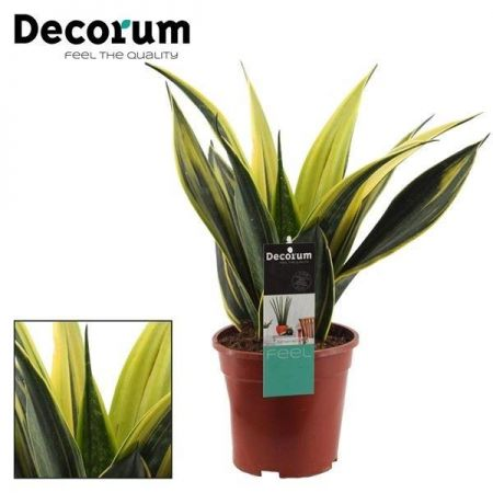 Sansevieria trif. Golden Flame House Plant in 14cm Pot
