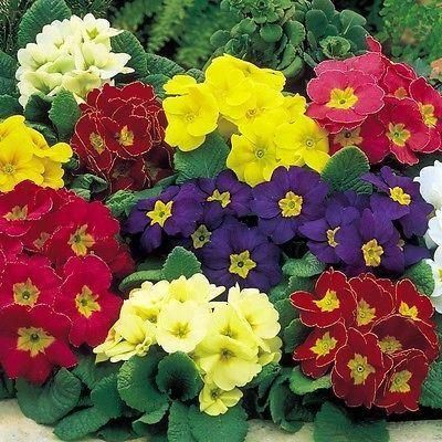 Polyanthus Crescendo plants in 10cm pots x 3.  Mixed colours. Hardy. NOT PLUGS