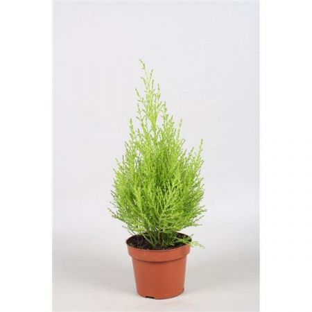 Cupressus Wilma Goldcrest Evergreen Conifer Tree in a 10.5cm Pot x 1.