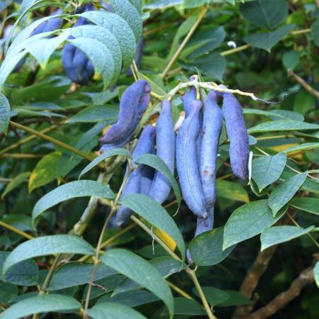 Decaisnea fargesii Blue Bean Shrub in 12 Litre Pot. Dead man's fingers.