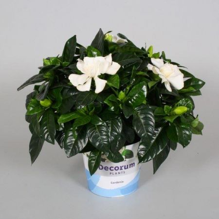Gardenia jasminoides shrub plant in a 13cm pot.  Heavenly scented white flowers
