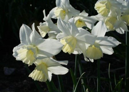 Narcissus Tresamble Bulbs x 15 Pure white flowers Multiheaded