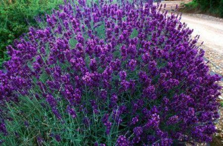 Lavender Hidcote Plants 3 x 9cm pot.  Lovely scented foliage Attractive to bees