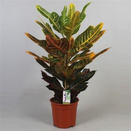 Codiaeum varigatum. Excellent house plant in 17cm pot. Approx 60cm tall