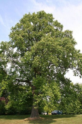 Liriodendron tulipifera tulip tree in a 7L container. RHS AGM