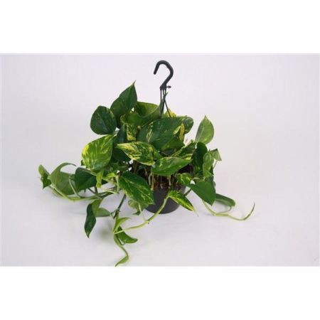 Scindapsus house plant in 15cm hanging pot. Devils Ivy