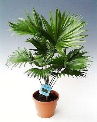 Livistona rotundifolia palm tree. Fan palm. 40/50cm tall in a 14/15cm pot.
