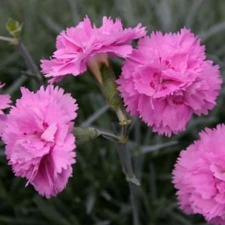 Dianthus Whatfield Can Can Plant in a 13cm Pot x 3.  Alpine Pink