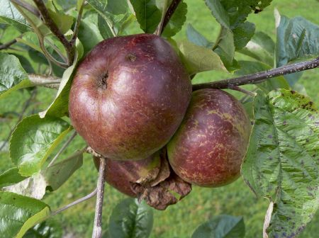 Apple (Malus) Dabinett Cider tree in a 12 Litre Pot - Half Standard - Rootstock MM106