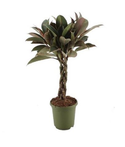 Rubber Plant Ficus elastica Melany with Braided Stem House Plant