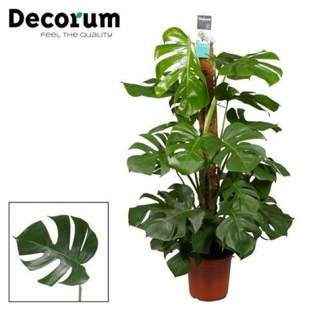 Swiss Cheese Plant Monstera pertusum. House plant around 125cm tall in a 24cm pot