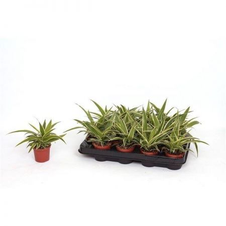 Chlorophytum Ocean house plant.  Unusual variety of spider plant in 7cm pot starter plant