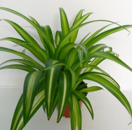Chlorophytum comosum Hawaiian Spider house plant in 12cm pot.