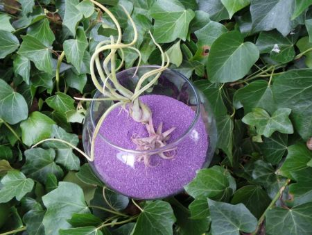 Tillandsia air plant displayed in glass fishbowl with 600g PURPLE sand